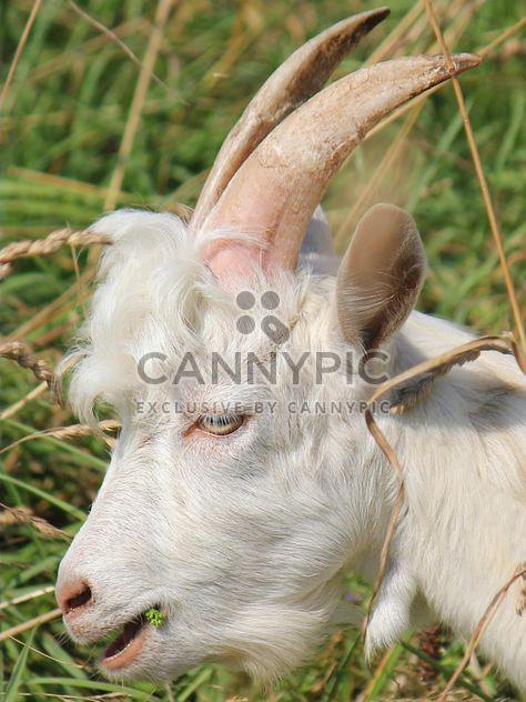 Портрет белой козы - бесплатный image #341295
