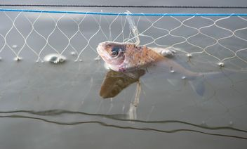 A fish in net - Free image #343585