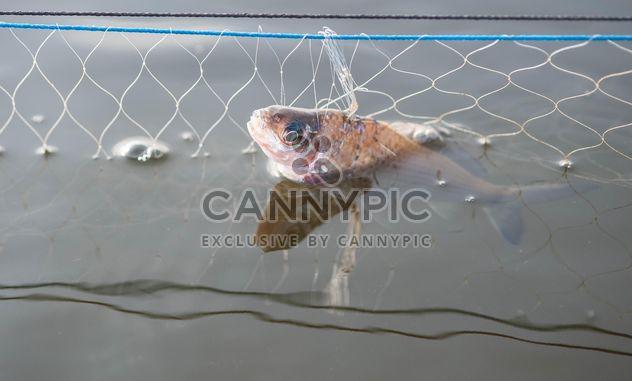 Un poisson dans le net - image gratuit #343585