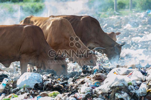 Kühe auf der Deponie - Kostenloses image #343835