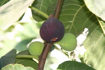 Ripe brown fig on tree - image gratuit #343895