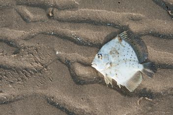 White fish on sandy beach - Free image #344585