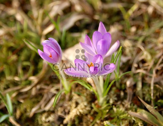 Closeup of purple crocus flowers in spring forest - Free image #345015