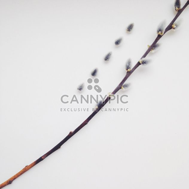 Twig of pussy willow on white background - image gratuit #345025