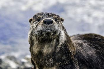 Otter Portrait - image gratuit #345225