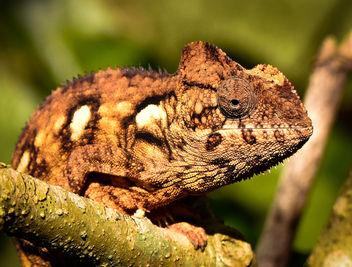 Chameleon, Madagascar - image #345835 gratis