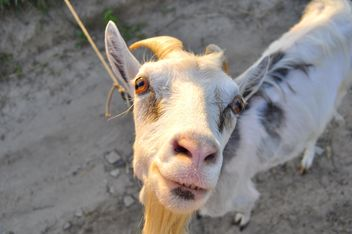 Closeup portrait of goat looking at camera - бесплатный image #345895