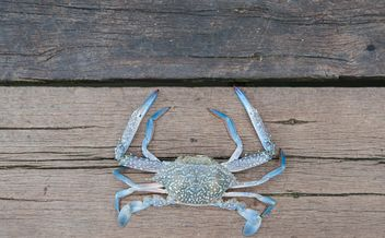 Closeup of horse crab on wooden background - бесплатный image #347315