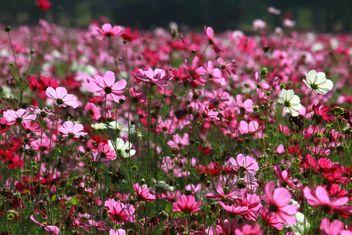 Pink cosmos - Free image #347725