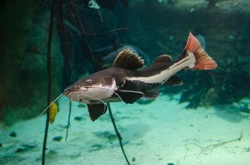 Redtail catfish - image #348335 gratis