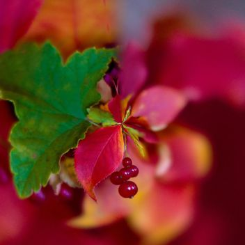 Closeup of red currant with colorful leaves - бесплатный image #348395