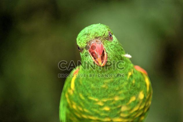 Красивая зеленая лорикет попугай - бесплатный image #348455