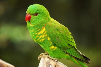 Beautiful green lorikeet parrot - image gratuit #348465