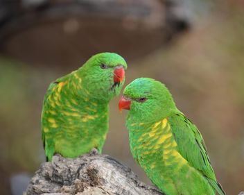 Pair of green lorikeet parrots - Free image #348475