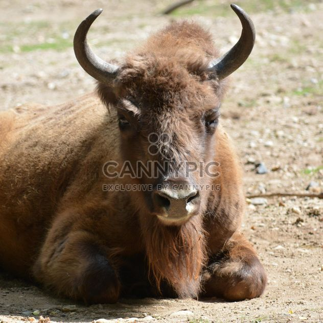 Wild aurochs resting on ground - Free image #348565