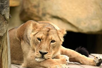 Sad lioness resting in zoo - бесплатный image #348595