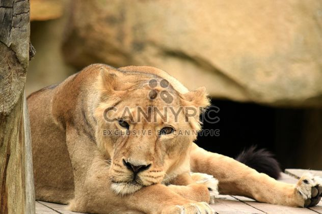 Sad lioness resting in zoo - Free image #348595