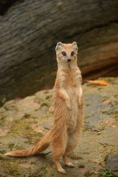 Portrait of cute mongoose standing on ground - image #348625 gratis