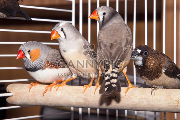 Sparrow and zebra finches - Free image #350245