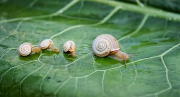 Family of snails on leaf - Kostenloses image #350265