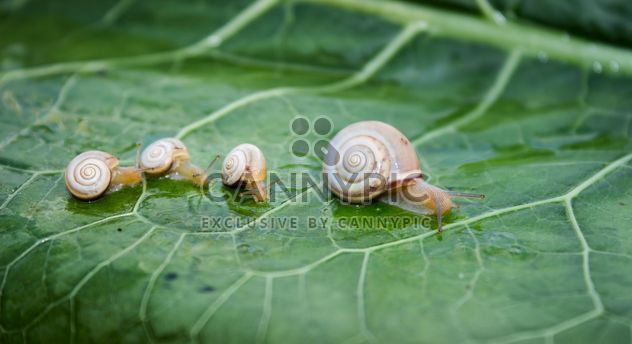 Family of snails on leaf - бесплатный image #350265