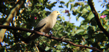 Pied Imperial Pigeon - Free image #350965
