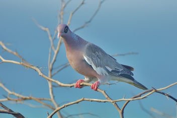 Beautiful Dove - image gratuit #351545