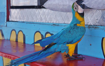 Parrot Trying to Cool Down - image gratuit #351575