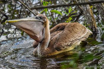 Pelican - Kostenloses image #355525