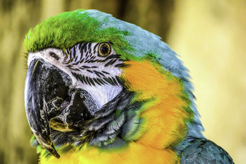 Blue and Gold Macaw - image #360775 gratis
