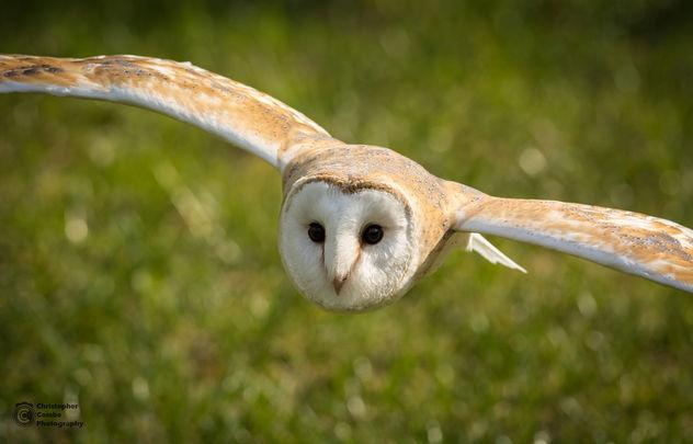 Barn Owl in Flight - image #361705 gratis