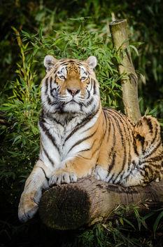 Tiger - Free image #362305