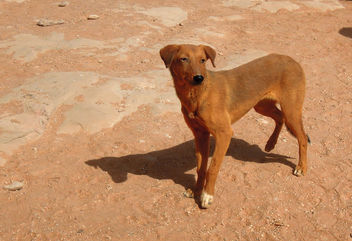 Egypt (Ebu Simbel) Desert's lonely dog - бесплатный image #362325