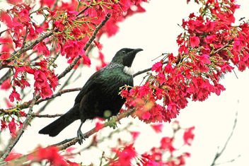 The magical Parsons Bird, NZ native Tui - image #362365 gratis