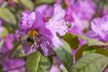 Azalea with Bumble Bee 2 - Free image #362395