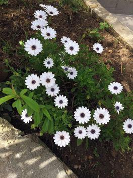 Turkey (Istanbul)- White garden flowers - Free image #363785