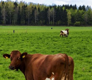 Hi, I'm a Cow! - Free image #365995
