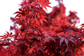 Erable du Japon - image #369245 gratis