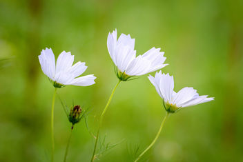 Cosmos Flowers - Free image #369575