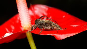 Little long horn beetle on a flower - Free image #372555