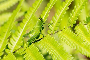 Grasshopper - image gratuit #375005