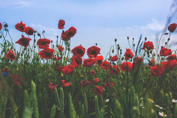 Poppies - Free image #375885
