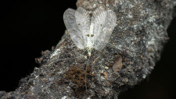 White lacewing with black dots on wing - Free image #376745