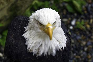 Alaskan Bald Eagle - image gratuit #382245