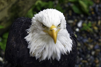 Alaskan Bald Eagle - бесплатный image #382245