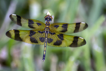 Halloween Pennant Dragonfly - Free image #382645