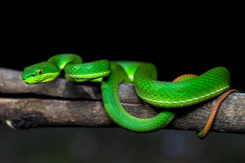 Trimeresurus cf. albolabris, White-lipper pit viper - Phu Hin Rong Kla National Park - Free image #385075
