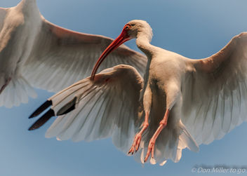 Ibis Preening in Flight - бесплатный image #389015