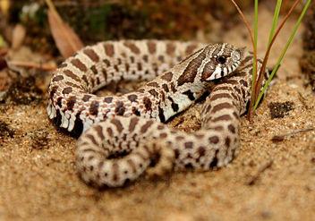 Plains Hognose Snake (Heterodon nasicus nasicus) - image gratuit #389365