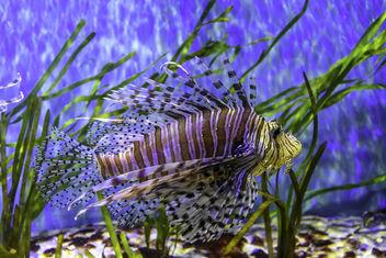 Volitan Lionfish - Kostenloses image #389435